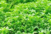 Basil plant — Stock Photo