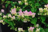 Bogenvilla flower — Stock Photo