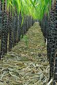 Sugarcane plants at field — Stock Photo