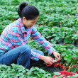 Young asian woman harvest strawberry in field — Stock Photo #23267212