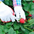 Harvest strawberry in field - Stock Photo