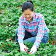 Woman havest strawberry - Stock Photo