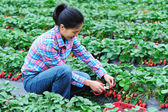 Young asian woman harvest strawberry in field — Stock fotografie