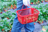 Harvest strawberry — Stock Photo