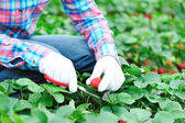 Harvest strawberry in field — Stock Photo
