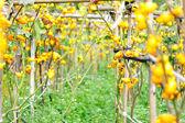 Solanum mammosum on plant — Stock Photo