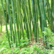 Bamboo tree — Stock Photo