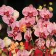 Phalaenopsis — Stock Photo #41294171