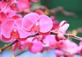 Phalaenopsis — Stockfoto