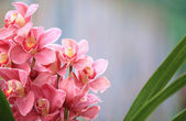 Pink cymbidium — Stock Photo