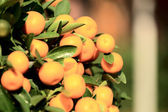 Mandarin oranges grow on tree — 图库照片