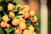 Mandarin oranges grow on tree — Zdjęcie stockowe