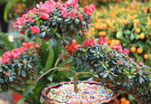 Mauve azalea flower — Stock Photo
