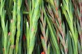 Gladiolus flower — Stock Photo