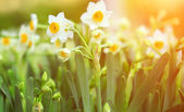 Narcissus field on sunny day — Stock Photo