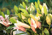 Flowers and buds of lilies — Stock Photo