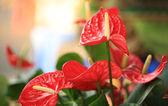 Red anthurium flower in botanic garden — Zdjęcie stockowe