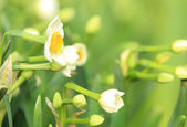 Blooming narcissuses — Stock Photo