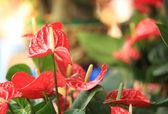 Red Anthurium flower in botanic garden — Foto Stock