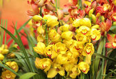 Beautiful cymbidium — 图库照片