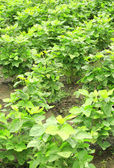 Sweet potato in garden — Stock Photo