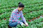 Woman harvest strawberry in field — Stok fotoğraf