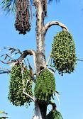Windmill palm seed — Stock Photo