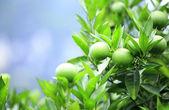 Green oranges — Stock Photo