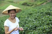 Asian woman picking tea — Stock Photo
