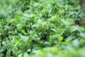 Tea tree field — Stock Photo
