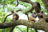 Three monkeys in forest — Stock Photo