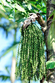 Palm seed — Stock Photo