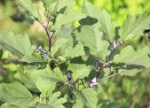 Eggplant plant — Foto Stock