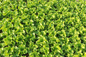Green pakchoy cabbage — Stock Photo