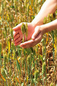 Hand touch wheat plant — Stock Photo