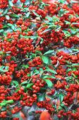Red prowan — Zdjęcie stockowe