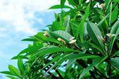 Frangipani tree — Stock Photo