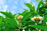 Frangipani tree — Stock Photo