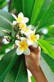 Hand with fresh frangipani flower — Stockfoto