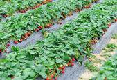 Strawberry field — Stockfoto
