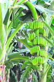 Green bananas — Stock Photo