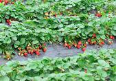 Aardbei veld — Stockfoto