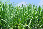 Sugarcane plants — Stock Photo