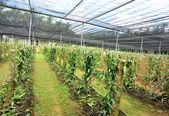 Planifolia de la vainilla — Foto de Stock