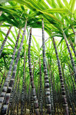 Sugarcane plants — Stock Photo