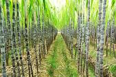 растения сахарного тростника — Стоковое фото