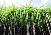 Cukrová třtina rostliny — Stock fotografie