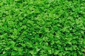 Mint plant grown — Stock Photo