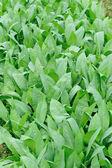 Green indian lettuce — Stock Photo