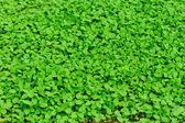 Mint plant — Stock Photo